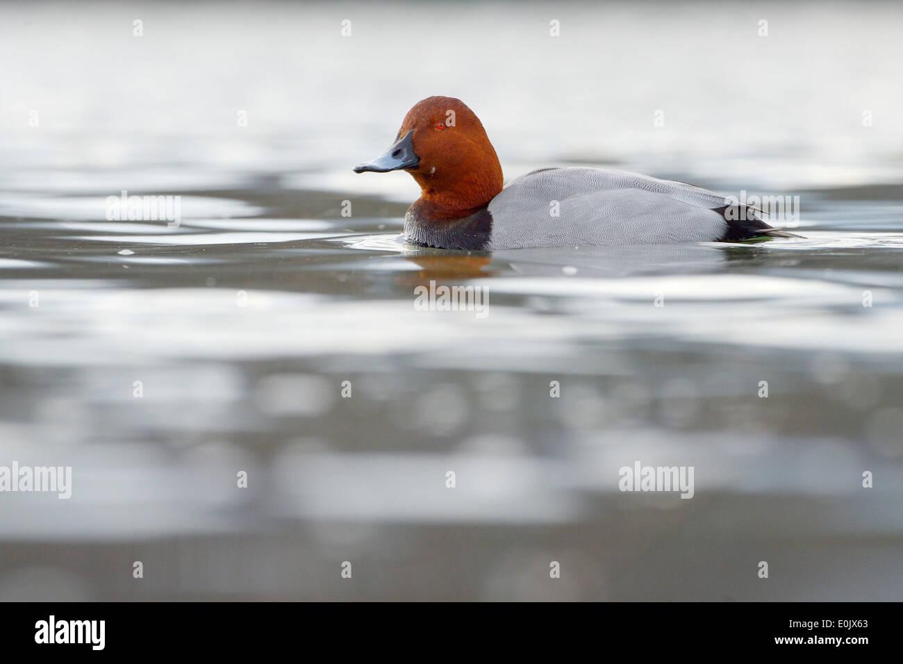 Pochard (Aythya ferina) Drake nadar en aguas con poca profundidad de campo. Imagen De Stock