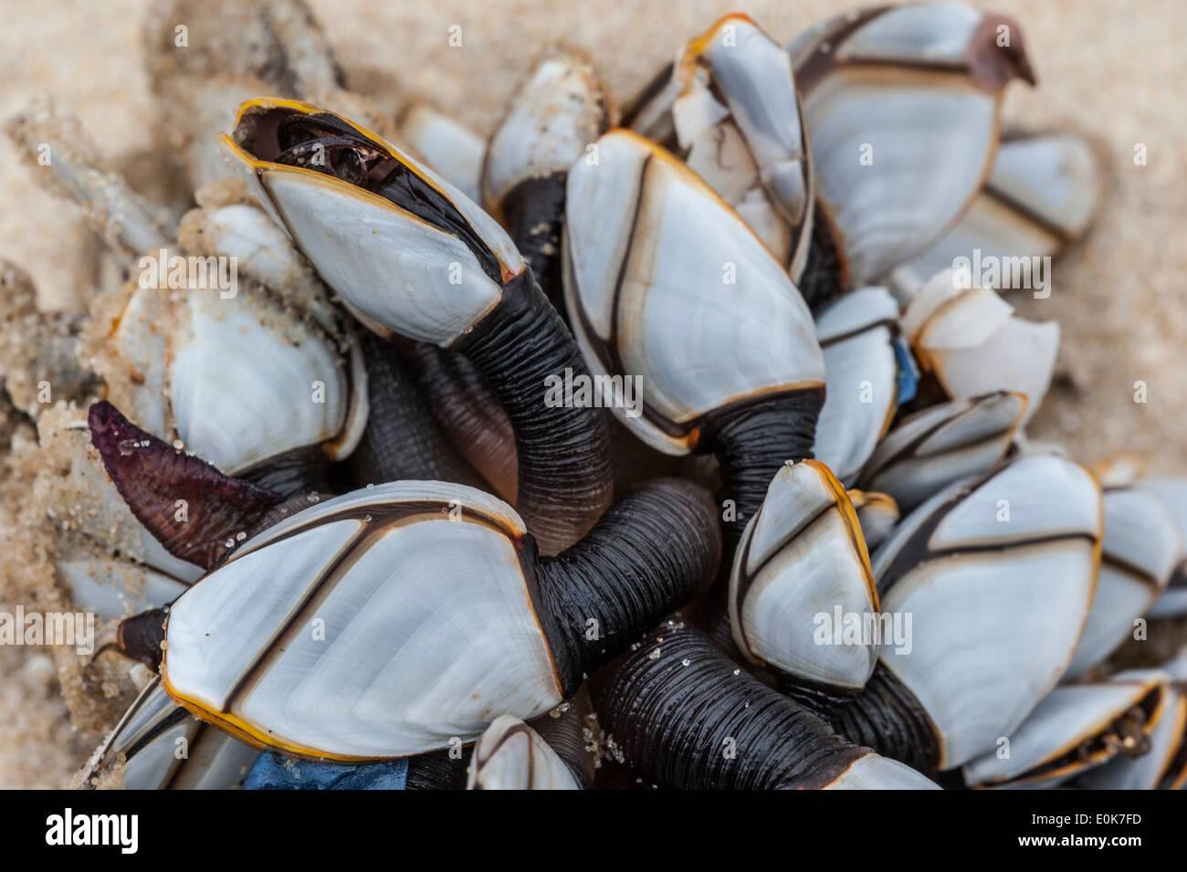 Percebes común / pelágicos suave cuello de cisne de cuello de cisne / percebe percebes (Lepas anatifera) lavados en la playa Foto de stock