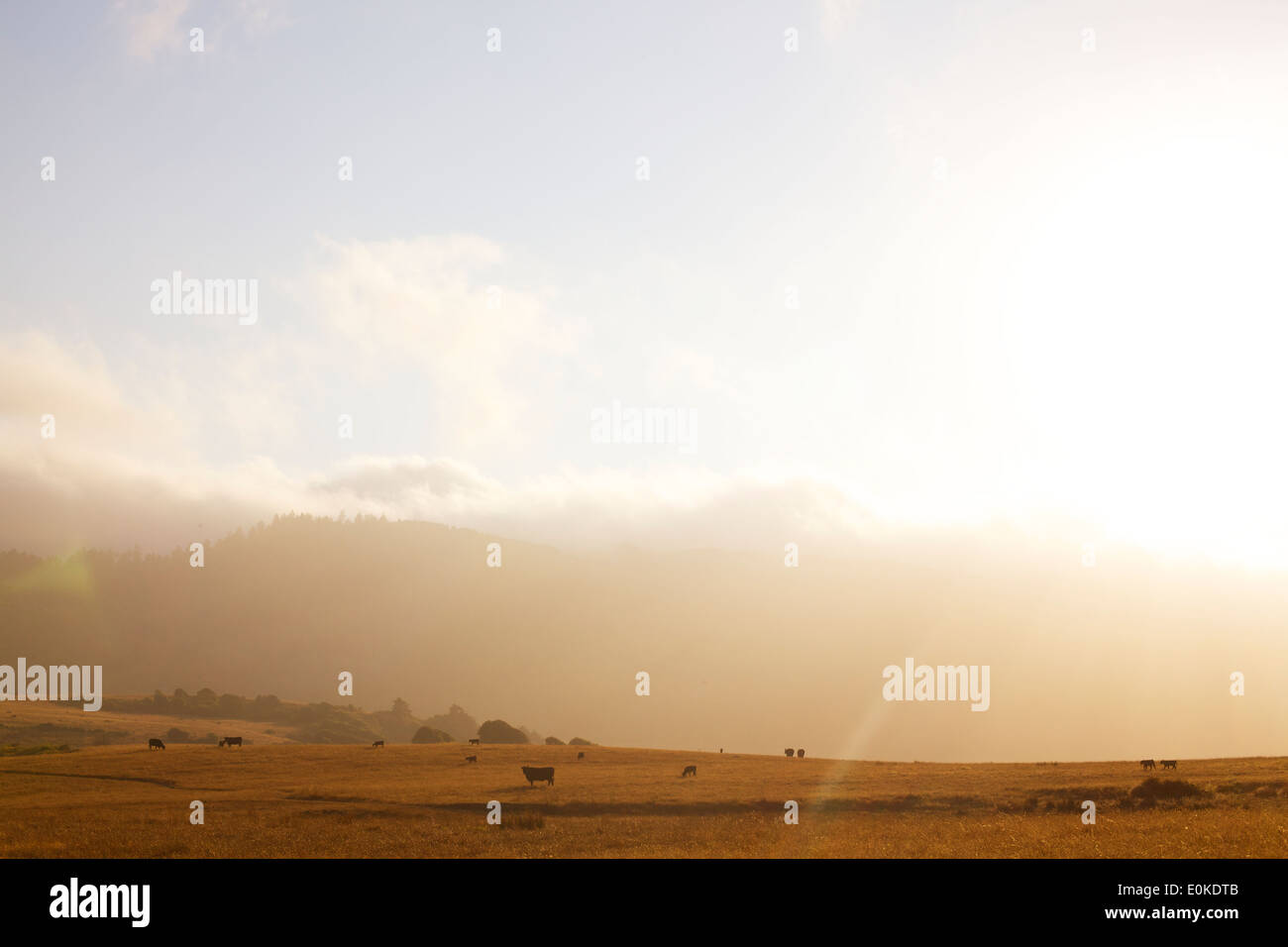 Los rollos de niebla en la distancia de un paisaje de vacas que pastan, siluetas contra una puesta de sol. Imagen De Stock