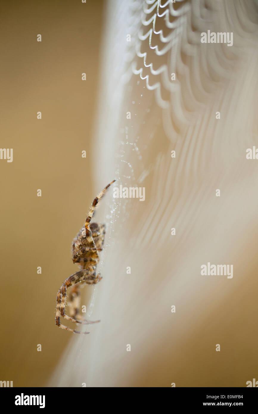 Una vista lateral de una araña tejedora de Orb en su web cubierto de rocío, en el oeste de Oregon, USA (Araneidae) Foto de stock