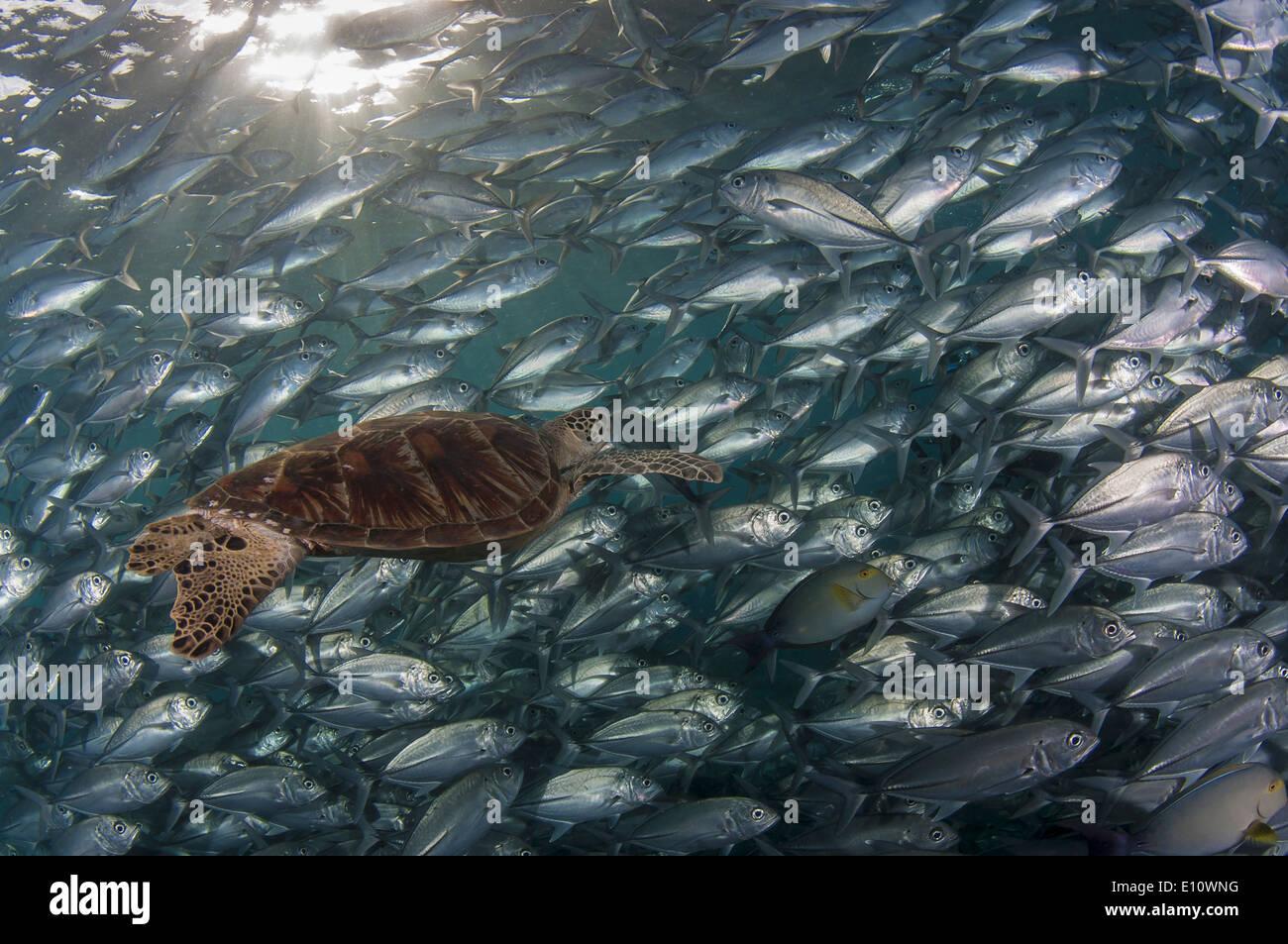Una tortuga de mar verde cubierto por Big-eye Trevally, Malasia (Chelonia mydas), (Caranx sexfasciatus) Foto de stock