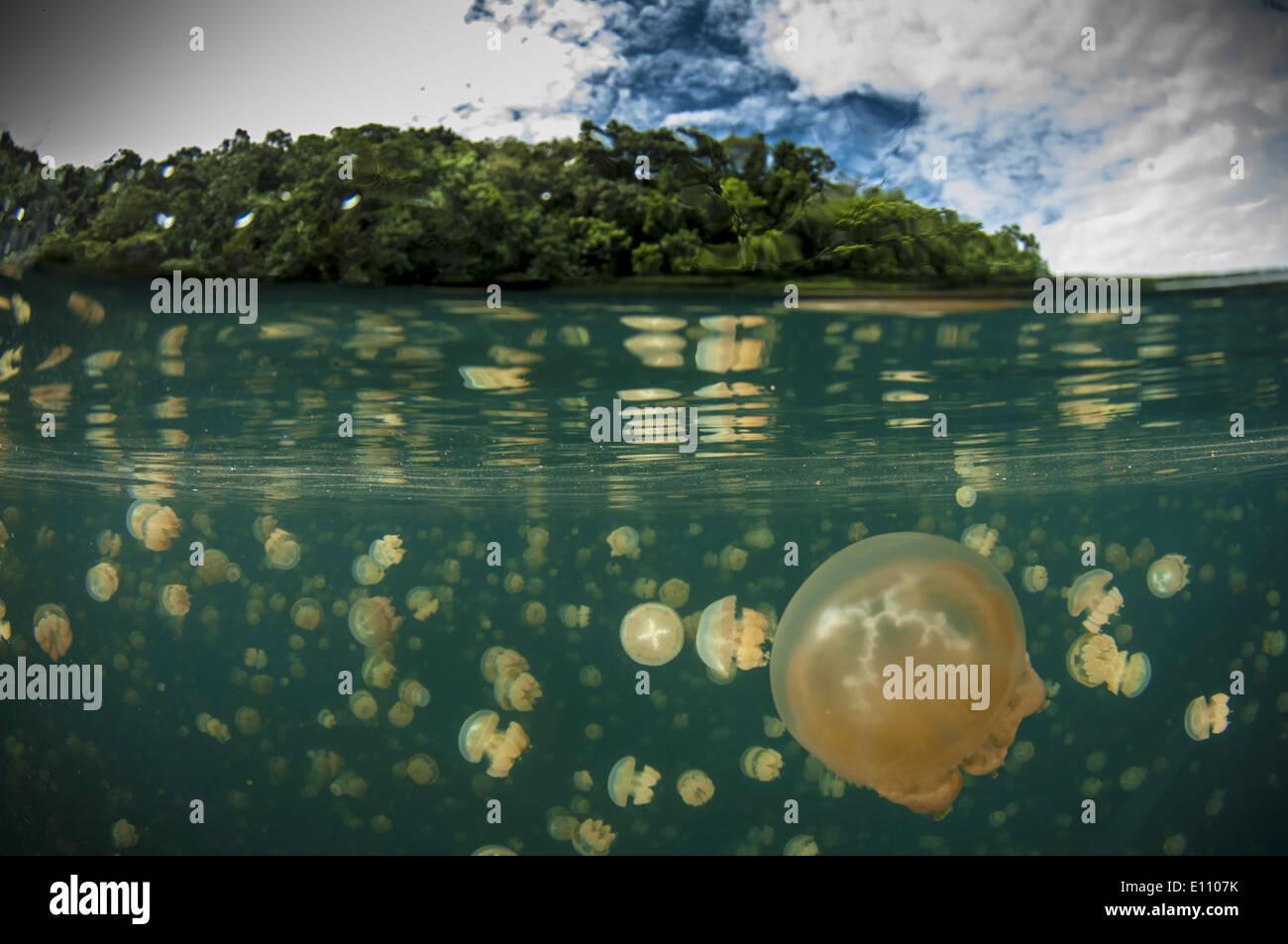 Un grupo de medusas, Jellyfish Lake, Palau (Mastigias) Foto de stock