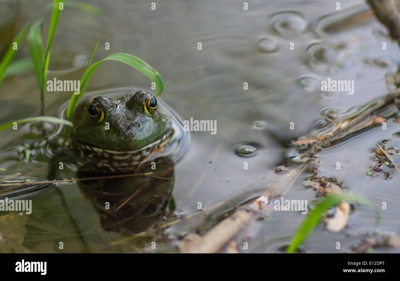 Rana en un estanque local Foto de stock