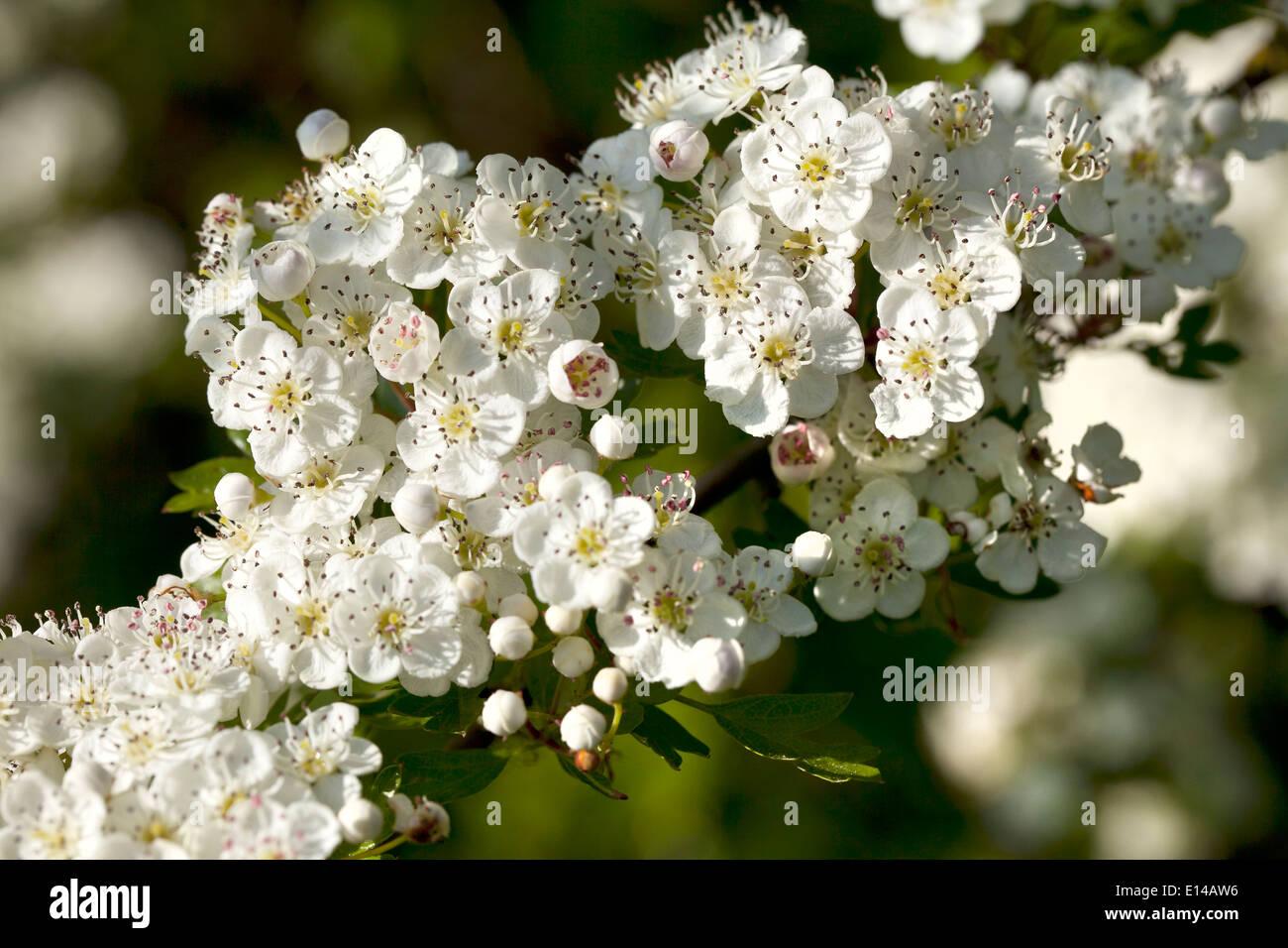 Hawthorn blossom Imagen De Stock