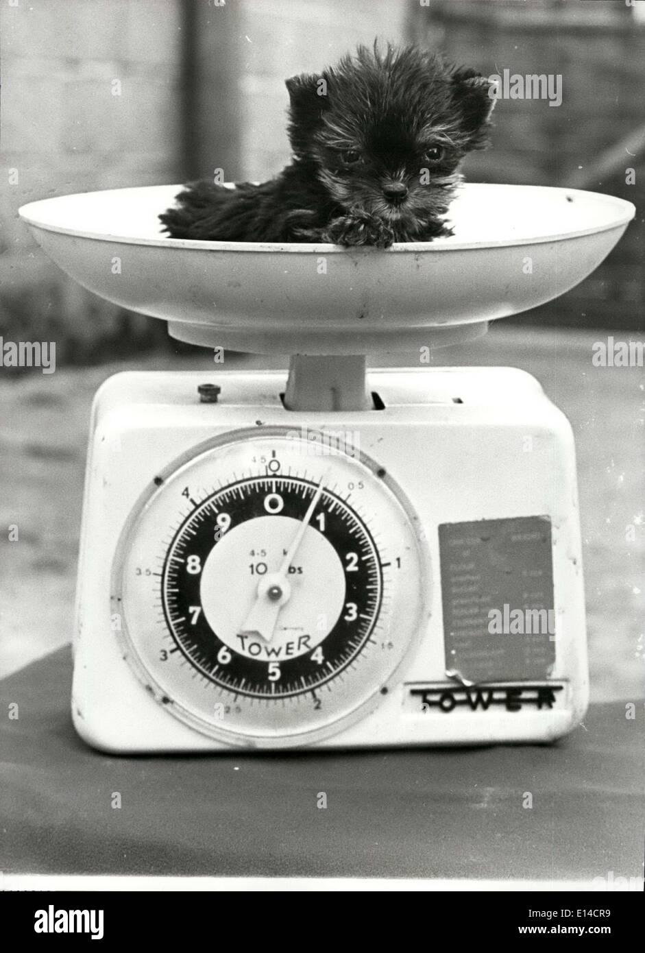 Abril 17, 2012 - Encuentro ''Titch'' El Yorkshire Terrier que vino al mundo pesando sólo Three-Quarters de una onza: ''Titch'', el Yorkshire Terrier vino al mundo hace diez semanas -sólo pesa alrededor de tres cuartas partes de una onza. Las probabilidades en contra del pup sobrevivir eran enormes, pero Titch es un verdadero luchador, y comenzó a comer y comer, y ahora inclina la balanza en nueve onzas. Pero su propietario, criador de crack, Gladys De Silva, de Newton Abbot, ha dicho que Titch no obtendrá mucho más grande, es posible que ella podría obtener hasta una libra porque sus funciones se van a crecer mucho más pequeño Imagen De Stock