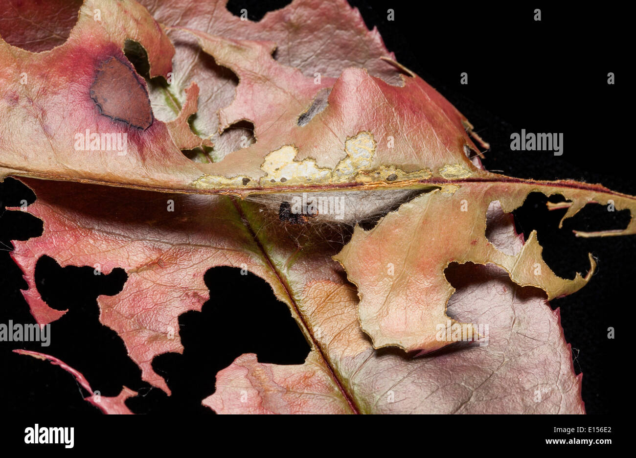 Silken capullo de un pupating amarillo-oro, cola cola o Polilla Polilla Swan ( Euproctis simi ) fijado entre las hojas. Bedfordshire, REINO UNIDO Foto de stock