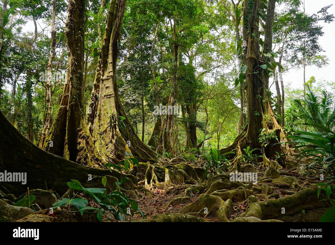 Árboles tropicales y raíces en la selva de Costa Rica Imagen De Stock