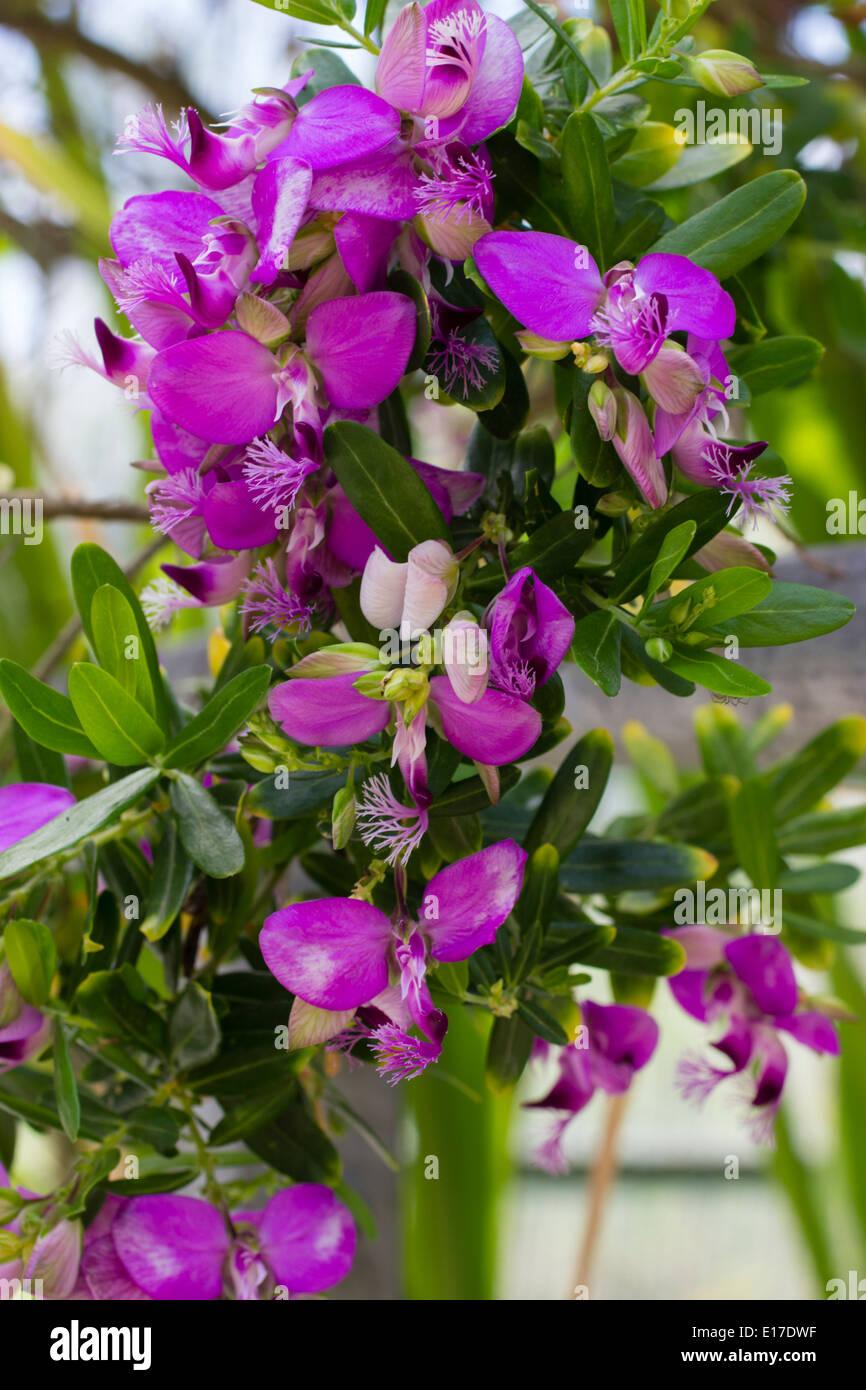 Las flores de la licitación heladas sweet pea de Bush, Polygala myrtifolia Imagen De Stock