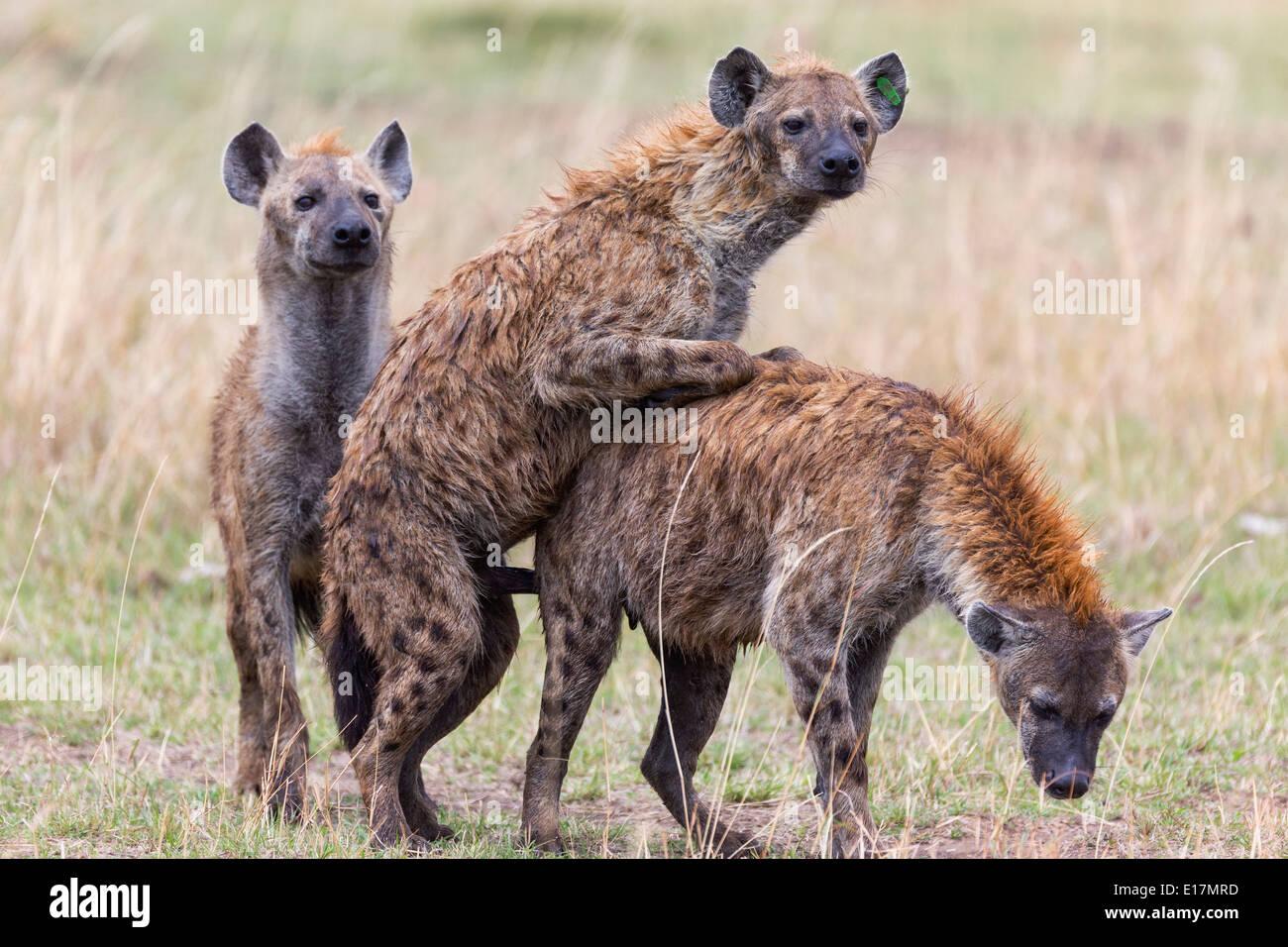 Manchada de hyaena (Crocuta crocuta) apareamiento.Reserva Nacional de Masai Mara. Kenya Imagen De Stock