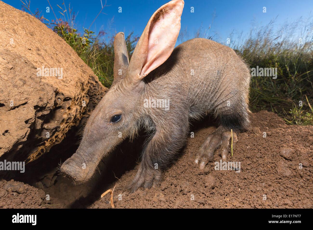 Jóvenes(Aardvark Orycteropus afer)en busca de hormigas y termitas.Namibia Imagen De Stock