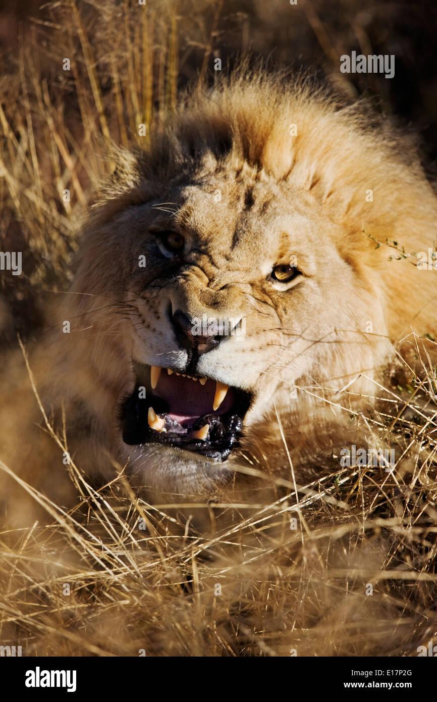 Macho de carga León (Panthera leo) de Namibia. Imagen De Stock
