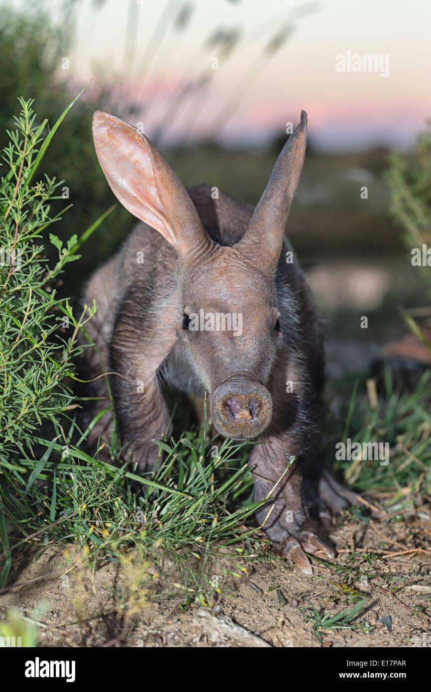 Los jóvenes oso hormiguero (Orycteropus afer).Namibia Imagen De Stock