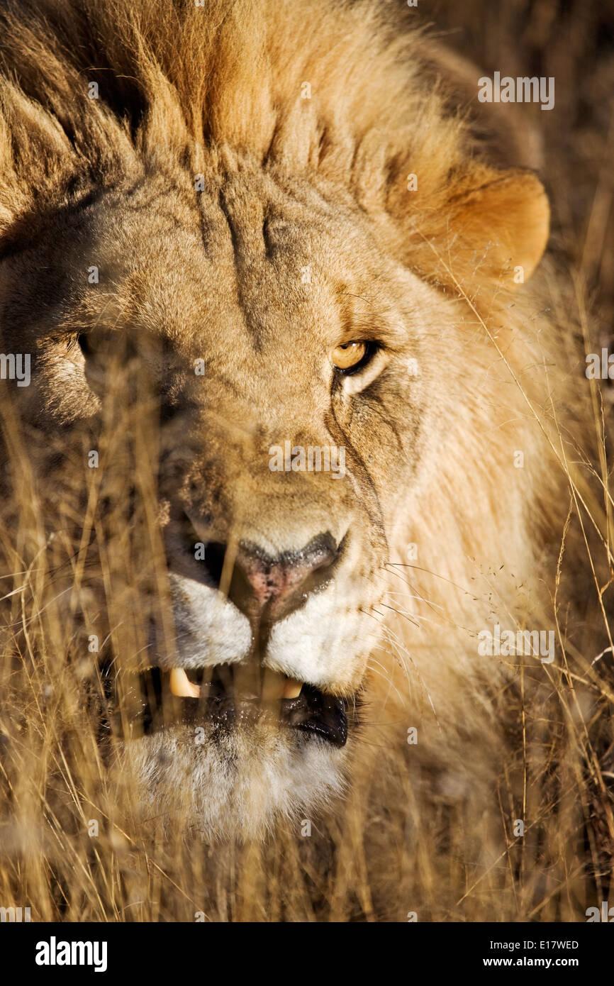 Gruñendo macho León (Panthera leo) en hierba larga. Namibia. Imagen De Stock