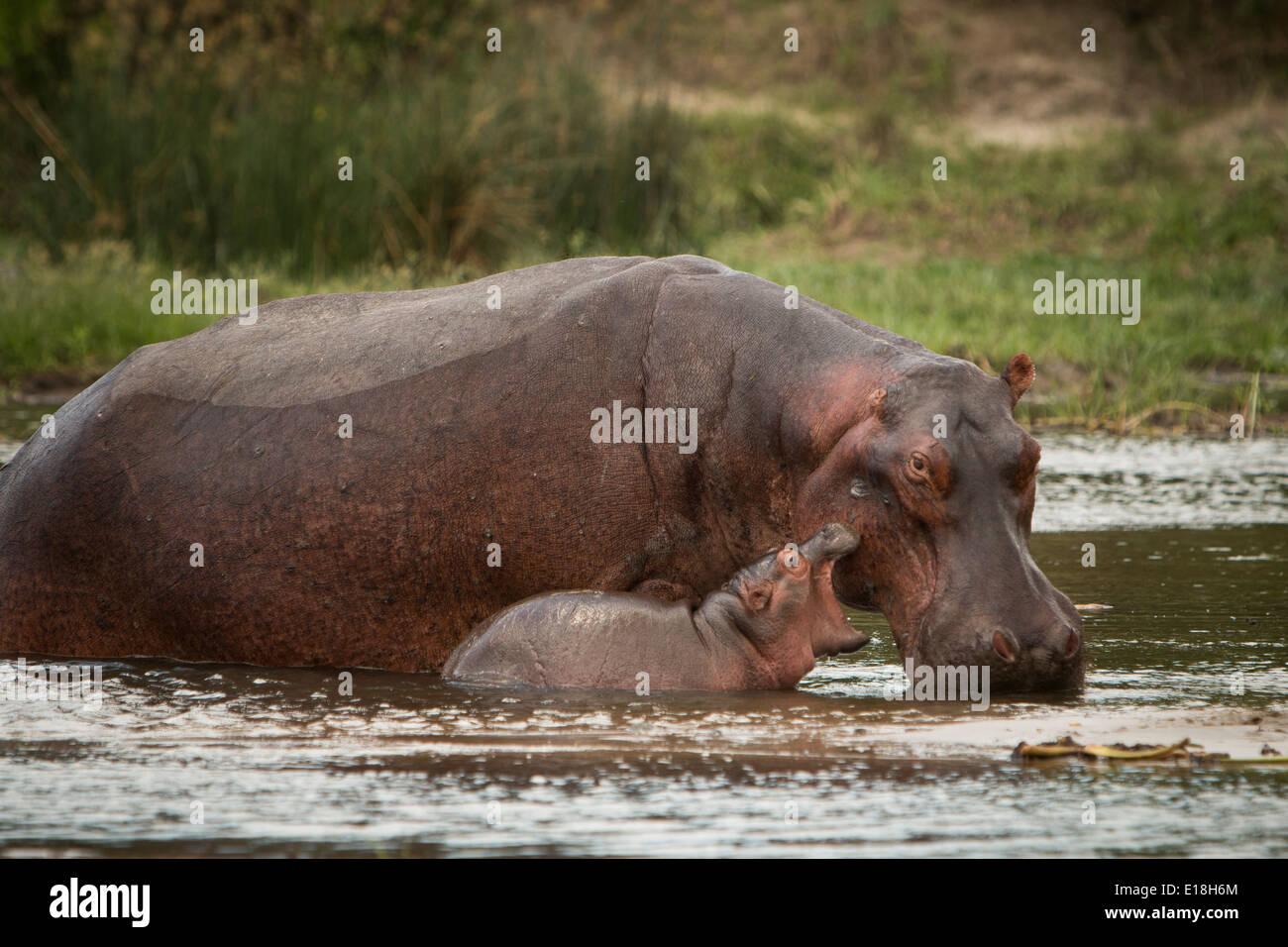 Hipopótamos en el Parque Nacional de Murchison Falls, Uganda, África Oriental. Foto de stock