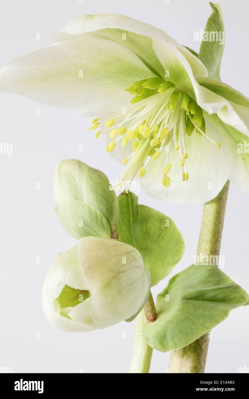 Hellebores en flor Imagen De Stock