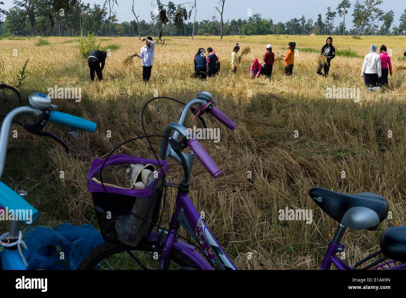 Los alumnos de la escuela Ngieng Ding Mak, Soukvilay Village, cerca del seno, ayudando a su maestro con la cosecha de arroz, en Laos. Imagen De Stock