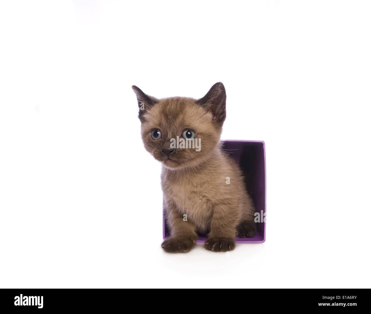 Lindo gatito Munchkin con cabeza grande saliendo del cuadro aislado sobre fondo blanco. Foto de stock