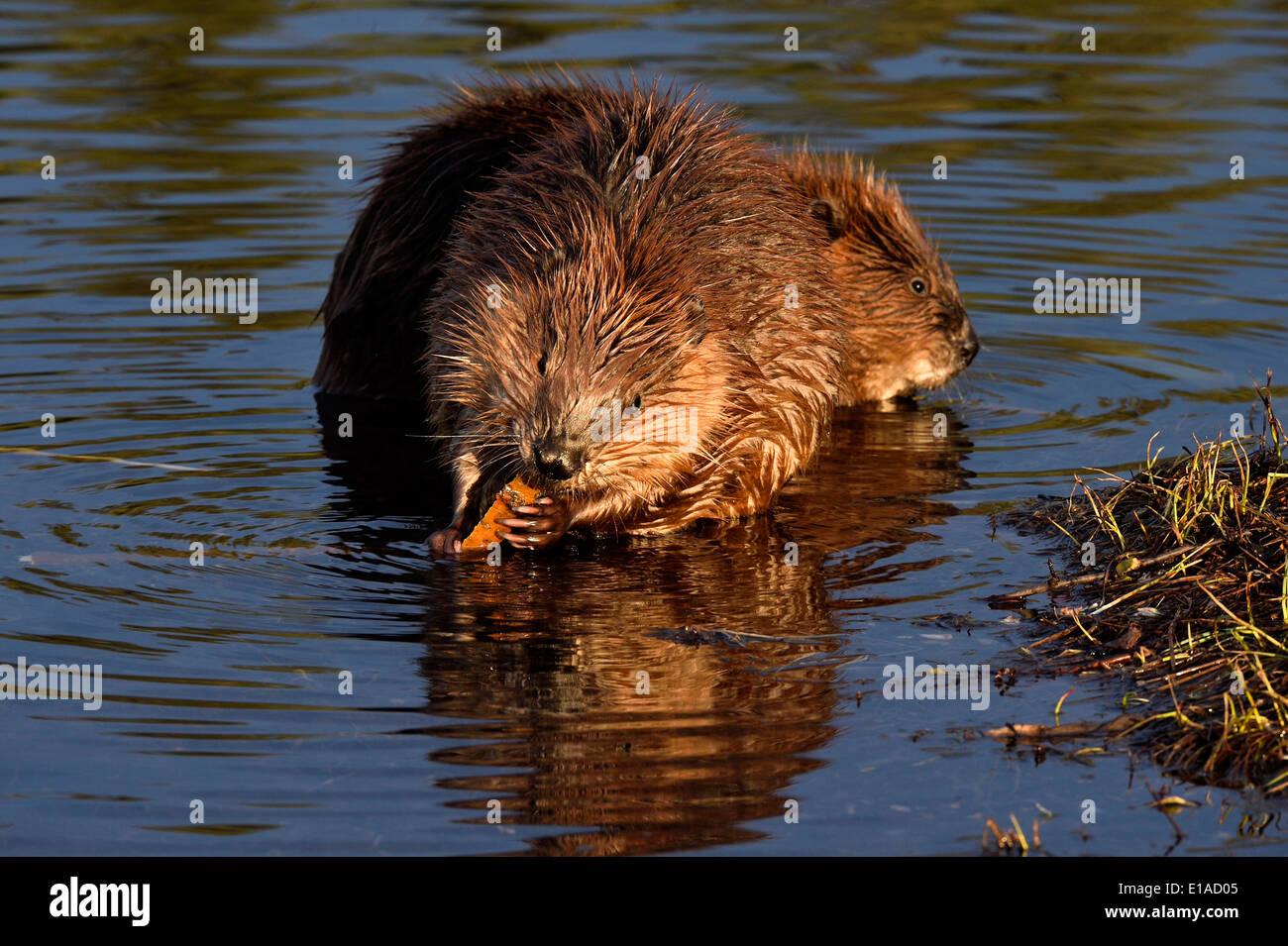 Dos jóvenes castores sentado en el agua de su estanque alimentando en algunas ramas de árbol Imagen De Stock