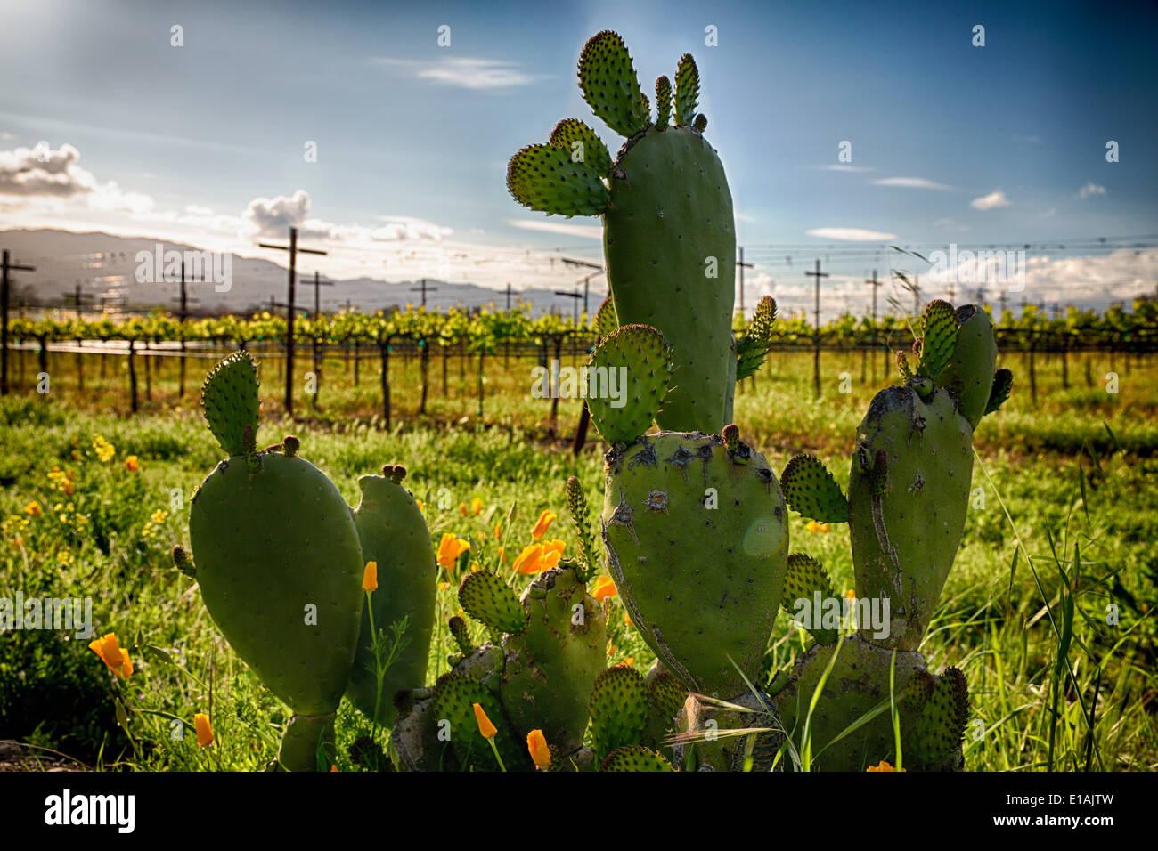 Cactus y amapolas amarillas, Napa Valley, California. Imagen De Stock