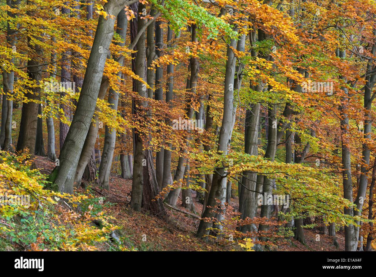 Bosque de hayas, dammer Berge, distrito de Vechta, Niedersachsen, Alemania Foto de stock