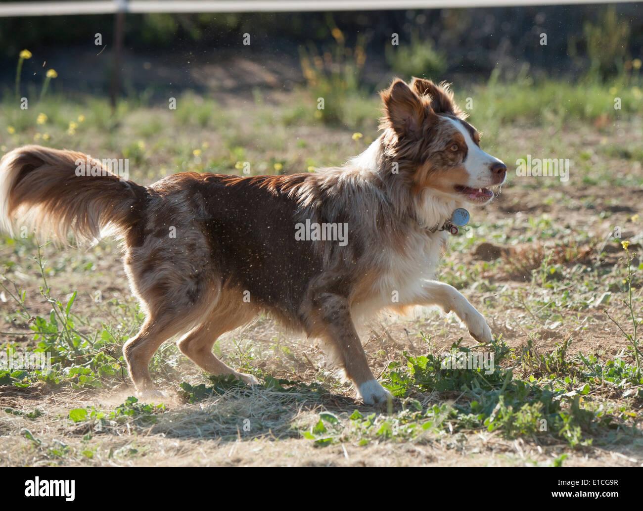 Ganado australiano Dog-Border Collie mix Imagen De Stock