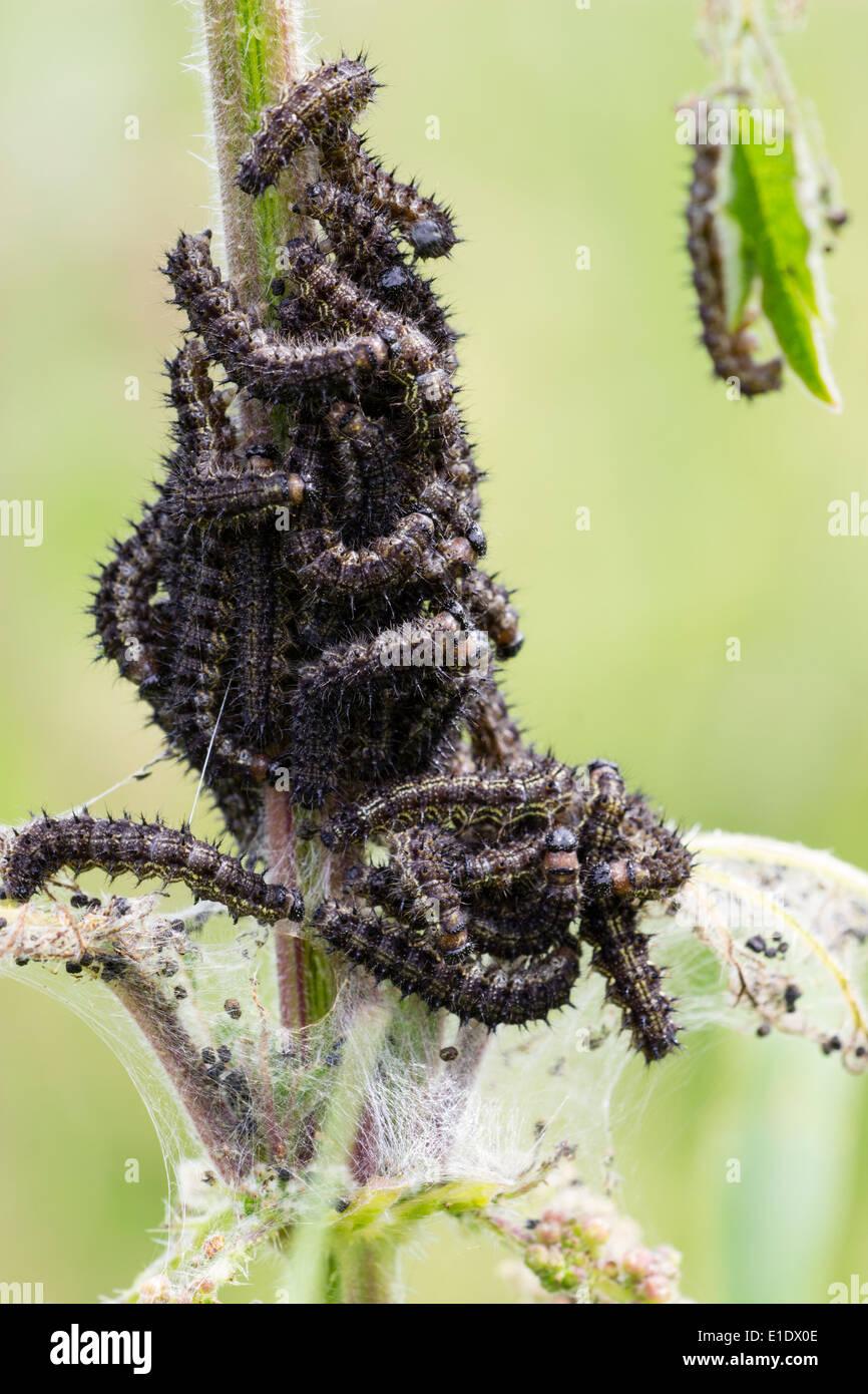 Las orugas de las mariposas, tortoiseshell pequeño Aglais urticae, alimentándose de una ortiga Foto de stock