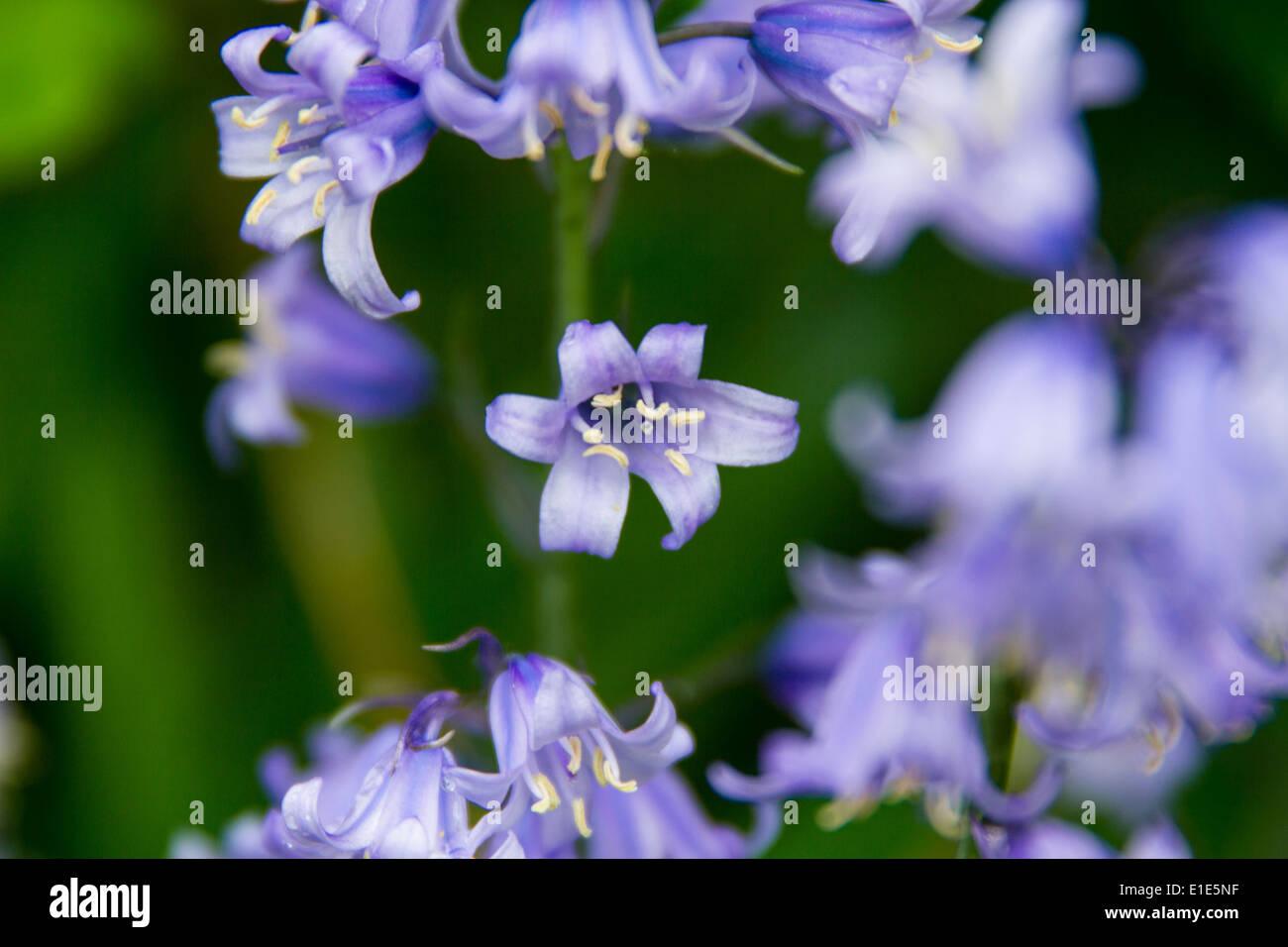 Flores de color púrpura Foto de stock