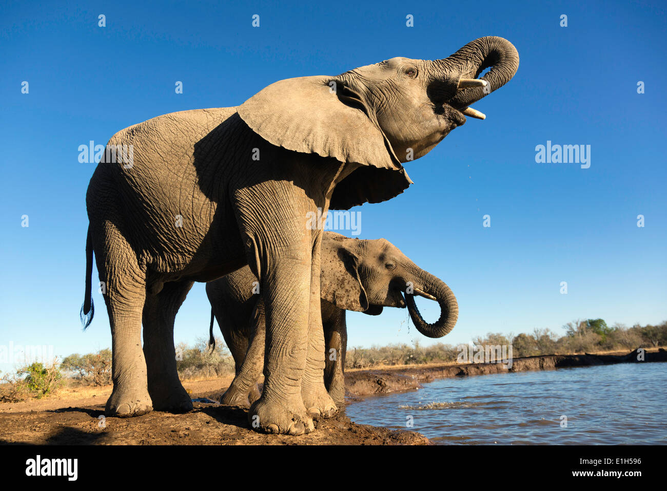 El elefante africano (Loxodonta africana) beber en el abrevadero, Reserva de Caza de Mashatu, Botswana, África Foto de stock