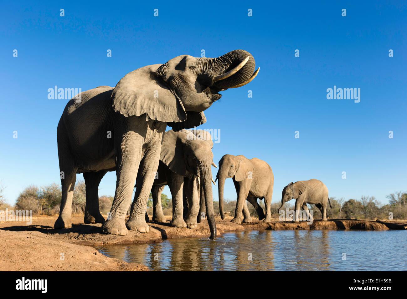 Un pequeño grupo de elefante africano (Loxodonta africana) beber en el abrevadero, Reserva de Caza de Mashatu, Botswana, África Foto de stock