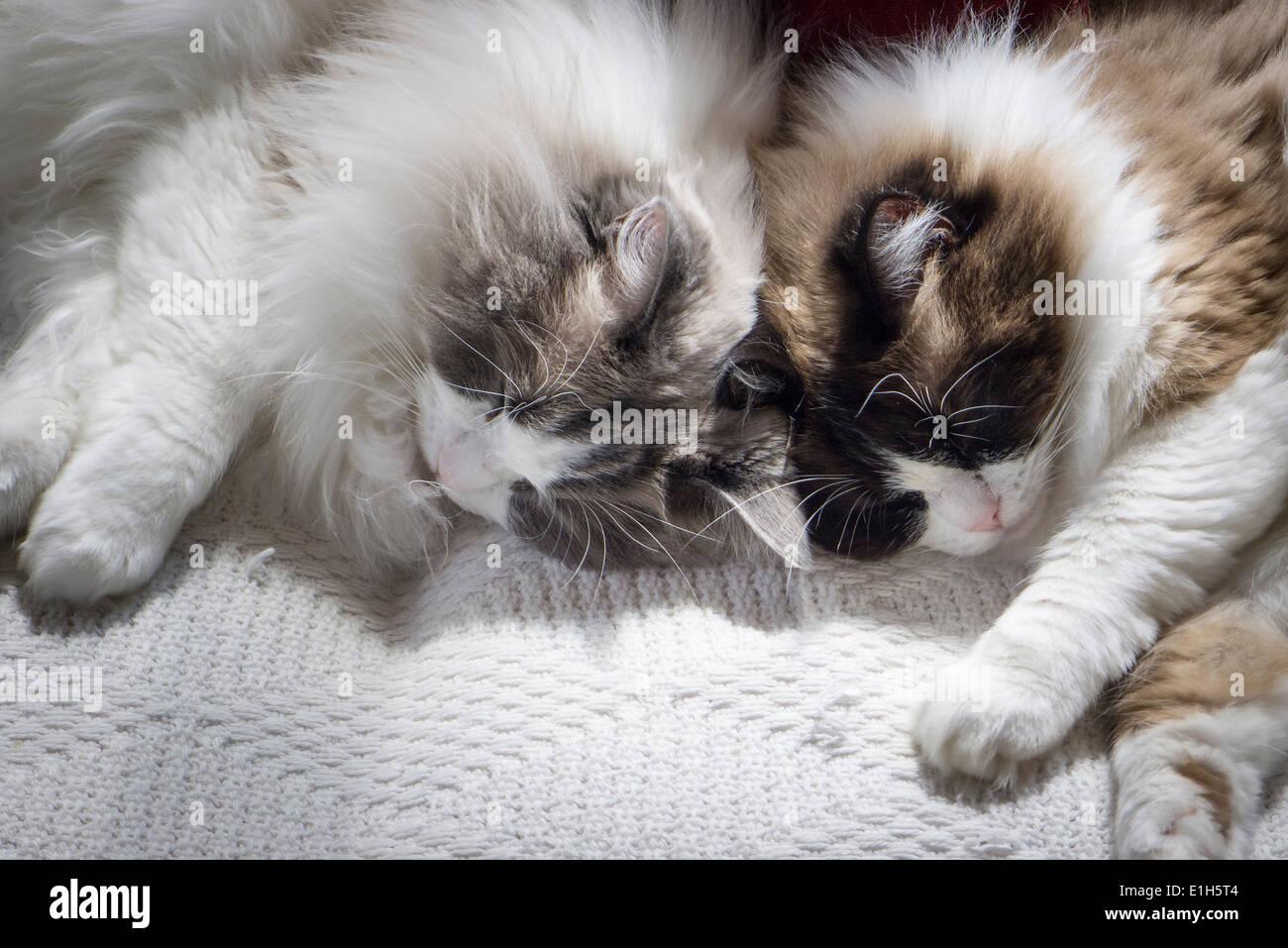 Dos gemelos Ragdoll gatos durmiendo cabeza a cabeza Imagen De Stock