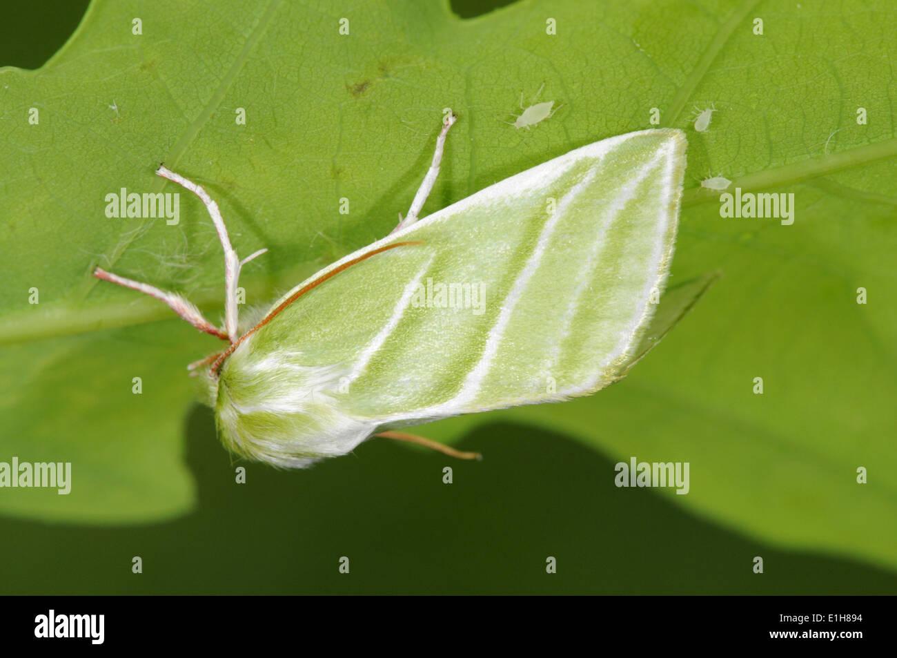 Líneas verde-plateado Pseudoips prasina Imagen De Stock