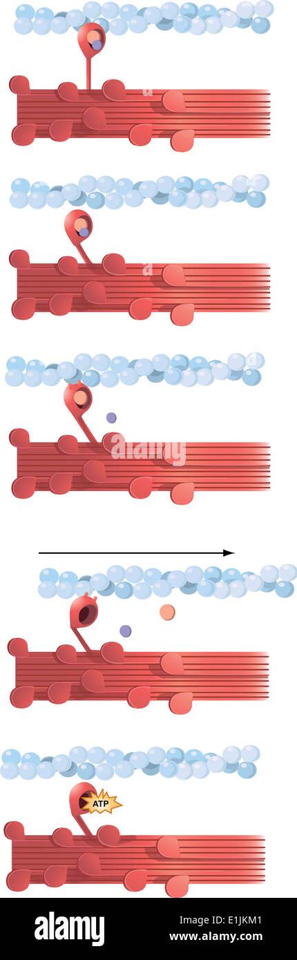 Ilustración de la contracción muscular. Imagen De Stock