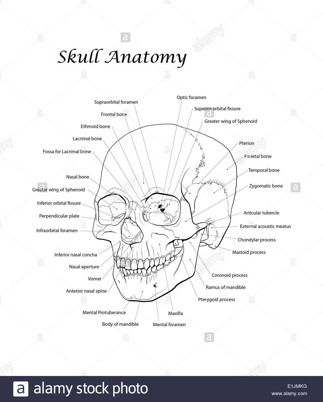 Occipital Bone Imágenes De Stock & Occipital Bone Fotos De Stock ...
