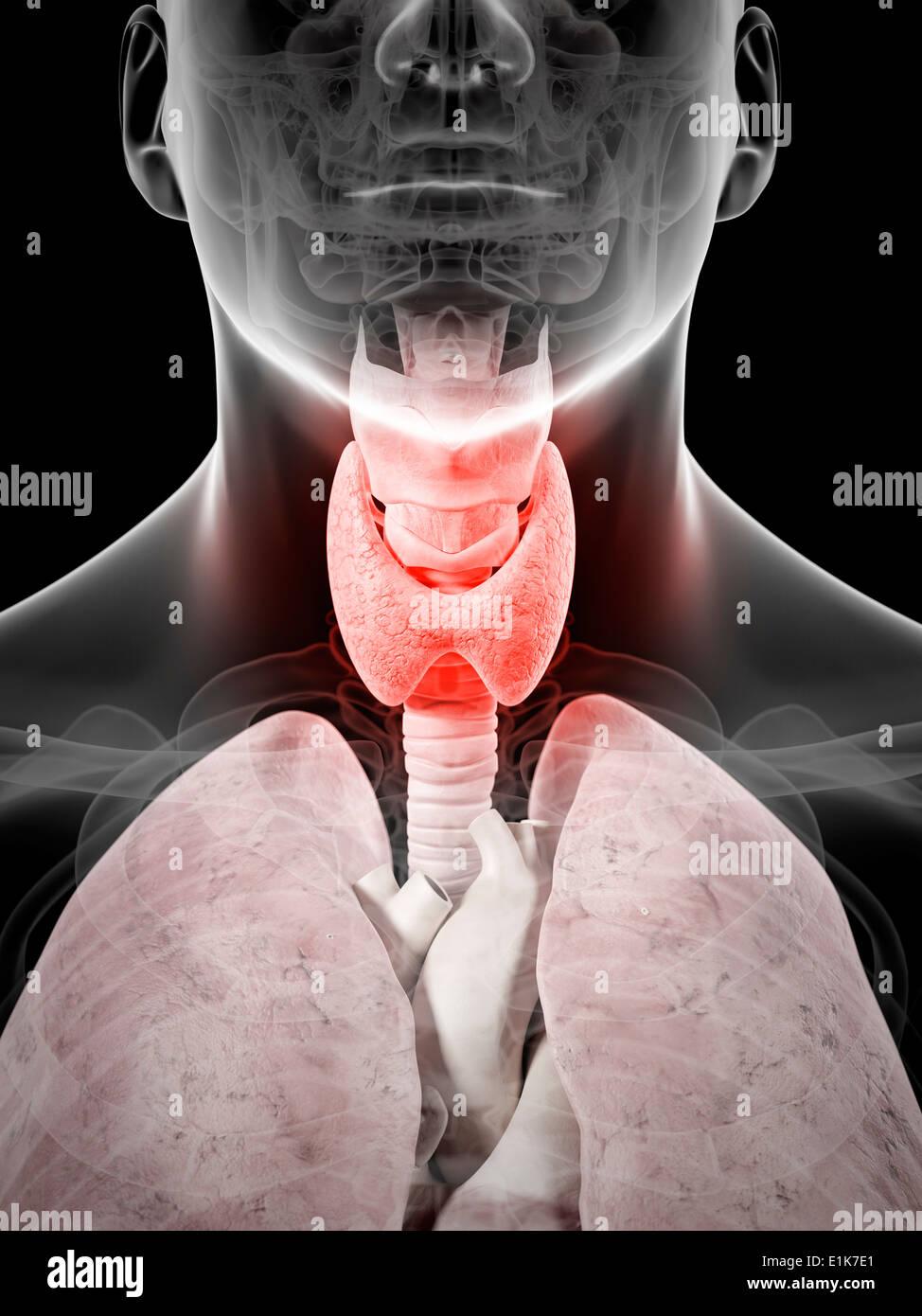 Equipo De Tiroides Inflamada Ilustraciones Foto Imagen De Stock