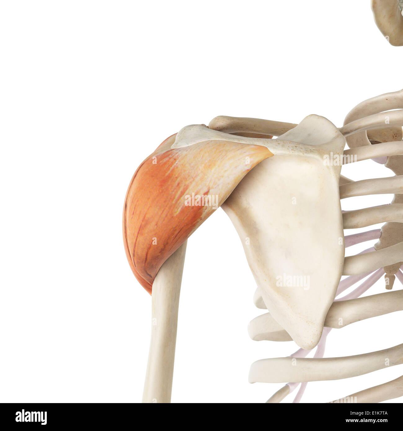 Derechos músculo deltoides equipo ilustraciones Foto & Imagen De ...