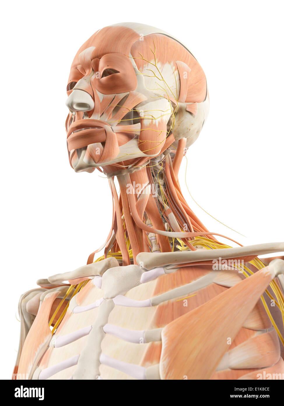 Los músculos y los nervios en el cuello humano equipo ilustraciones ...