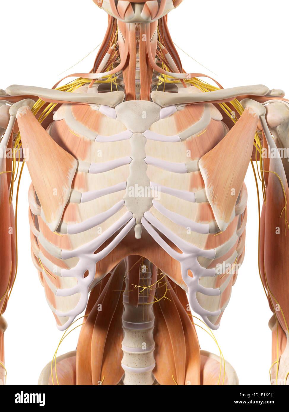 Thoracic Nerves Imágenes De Stock & Thoracic Nerves Fotos De Stock ...
