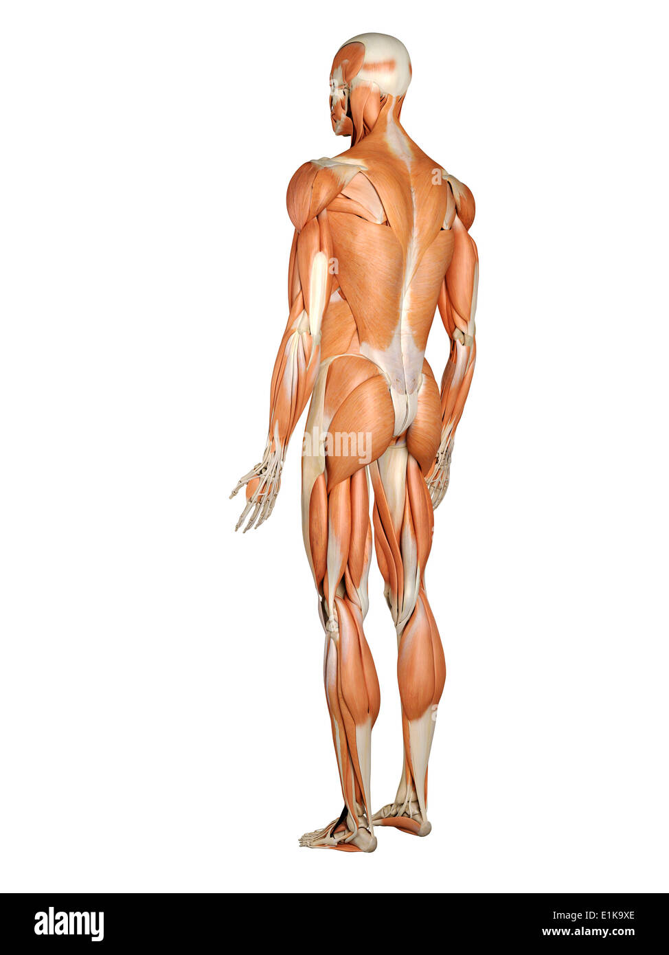 Calculador del sistema músculo-esquelético humano ilustraciones Foto ...