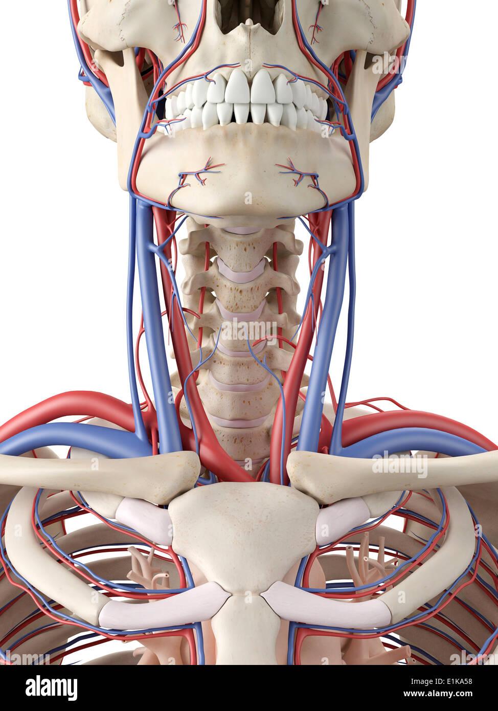 Sistema Vascular del cuello y la garganta equipo ilustraciones Foto ...