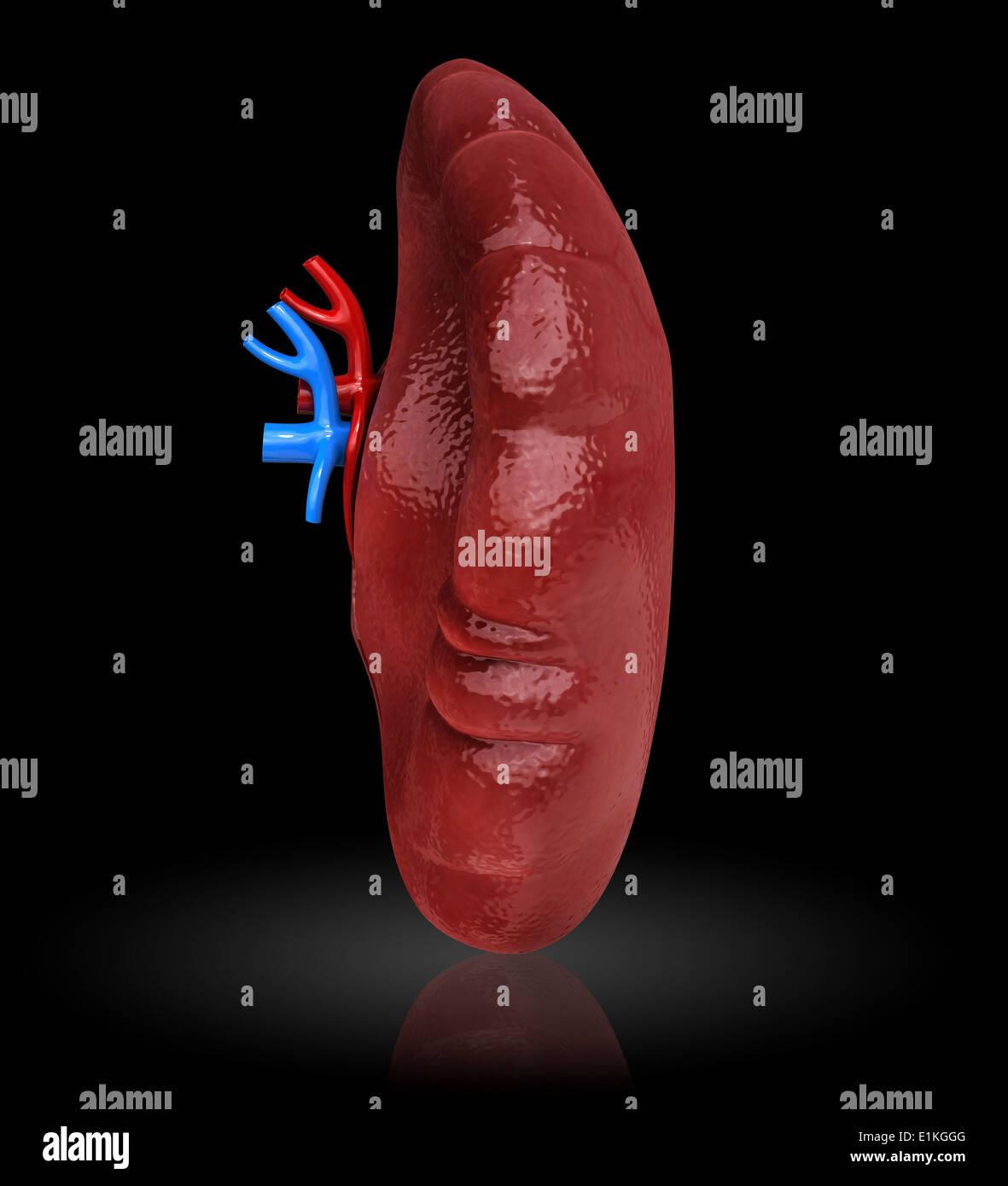 Bazo humano cut-away equipo ilustraciones Foto & Imagen De Stock ...