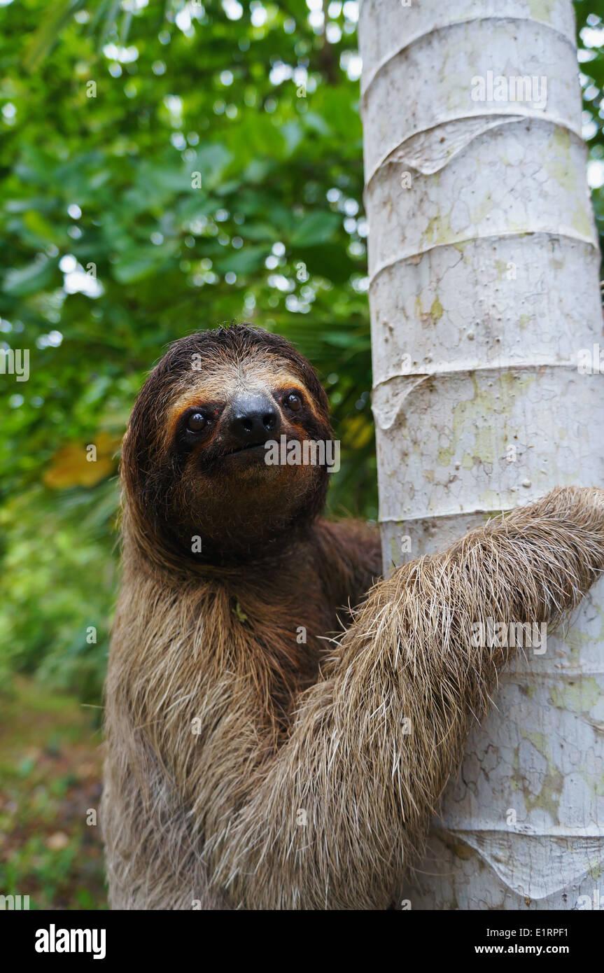 Retrato de perezoso de tres dedos trepa a un árbol, Panamá, América Central Foto de stock