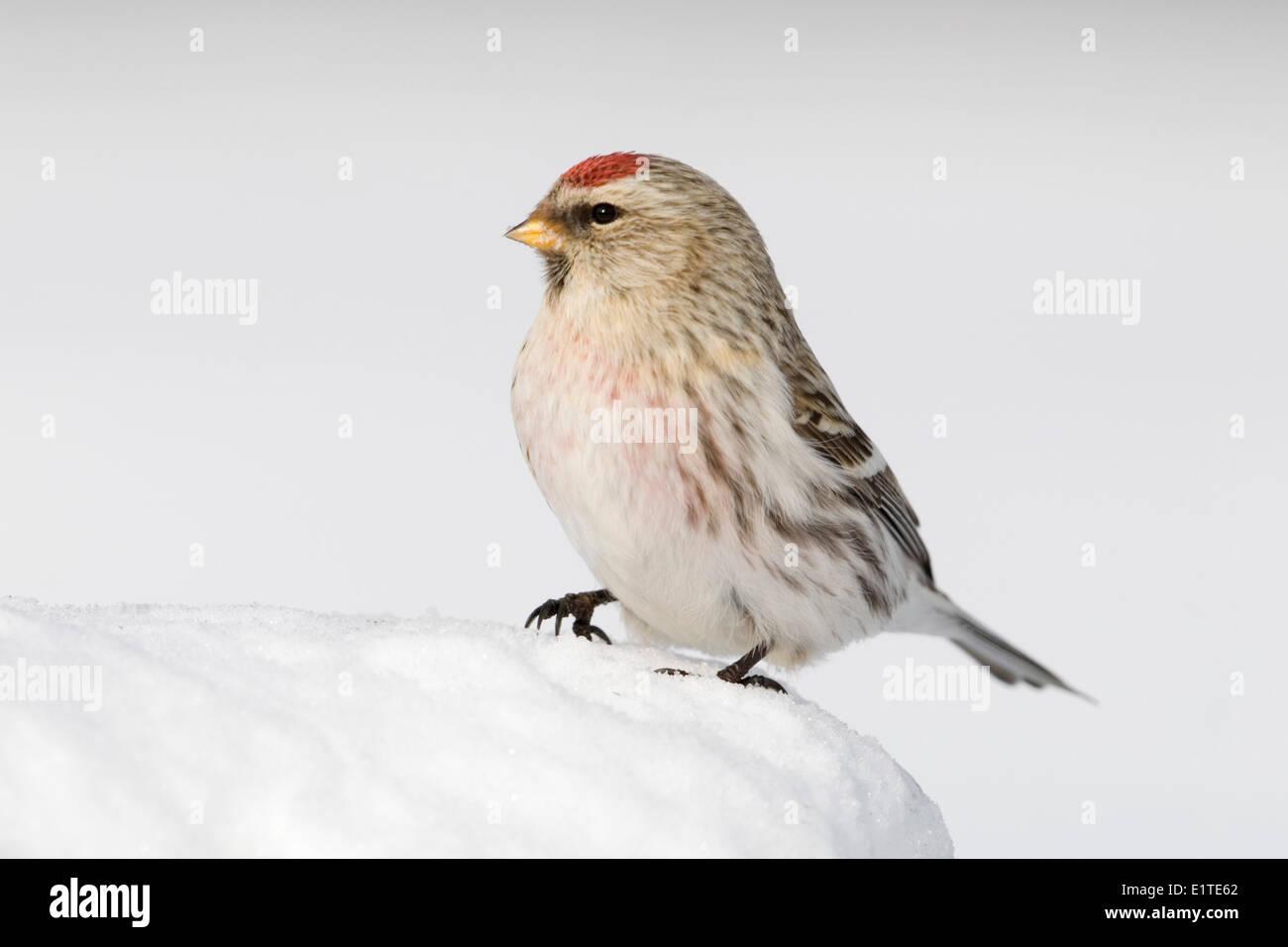 Un Redpoll canosos sentados en la nieve. Foto de stock