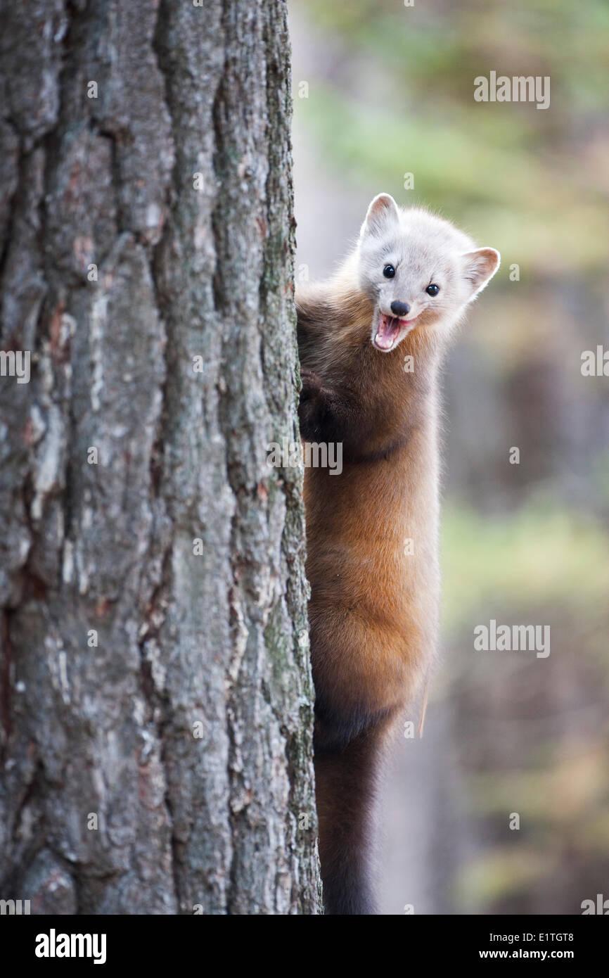 Marten americana (Martes americana) hace una feroz expresión facial al trepar a un árbol en Algonquin Provincial Park Ontario Imagen De Stock