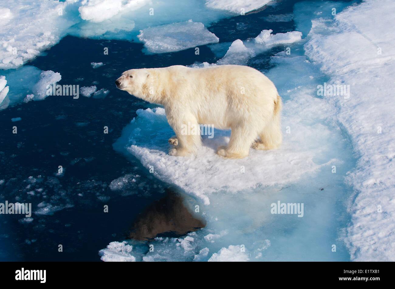 El oso polar (Ursus maritimus) sobre bloques de hielo, Svalbard, Archipiélago Ártico noruego Imagen De Stock