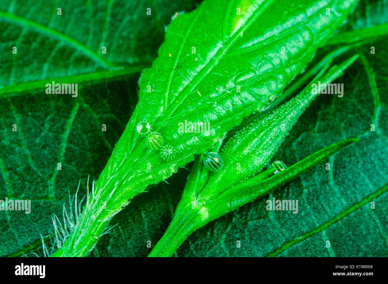 Malaquita, huevos de mariposa (Siproeta stelens), S (TX strays N), E & W México a Amazon, S FL, Cuba, Islas Caimán Foto de stock