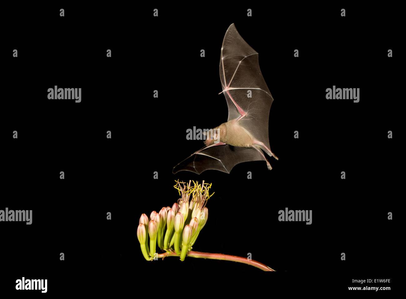 Menor de larga nariz (murciélago Leptonycteris yerbabuenae), alimentándose de Agave flor, Amado, Arizona. Este murciélago está clasificada como vulnerable. Foto de stock