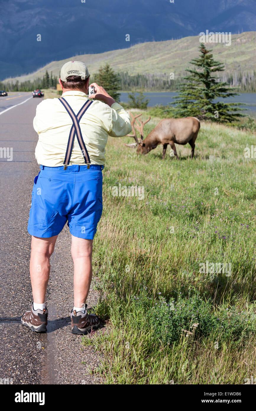 Un turista se acerca demasiado a un toro de alces (Cervus canadensis) en el Parque Nacional de Jasper, Alberta, Imagen De Stock