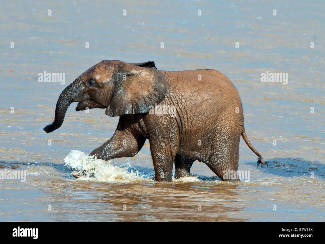 Sabana Africana ternero de elefantes (Loxodonta africana), cruzando el río Ewaso Ng'iro, Parque Nacional de Samburu, Kenia, África Oriental Foto de stock