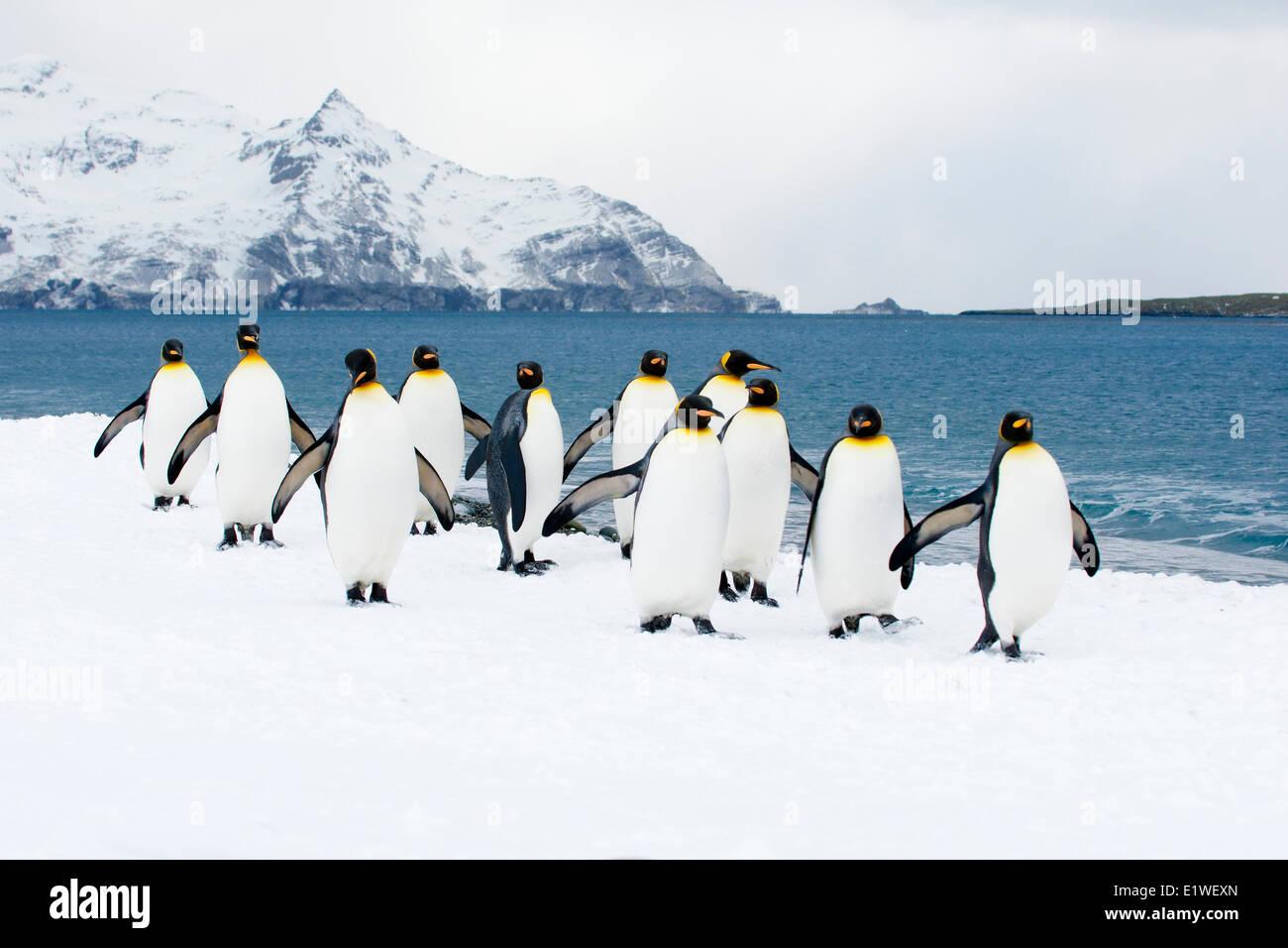 Pingüinos rey (Aptenodytes patagonicus) loafing en la playa, en la isla de Georgia del Sur, la Antártida Foto de stock