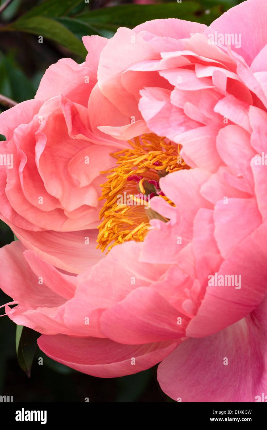 """Sola flor de la peonía, Paeonia """"Coral encanto"""" Foto de stock"""
